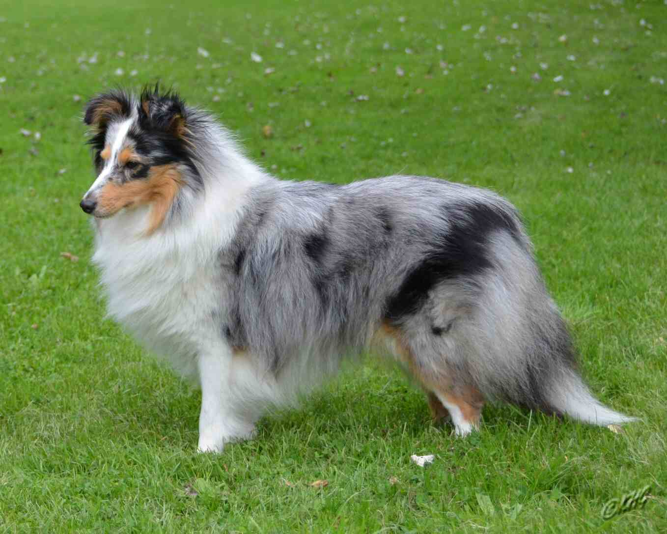 Displaying 18> Images For - Sheltie Blue Merle...